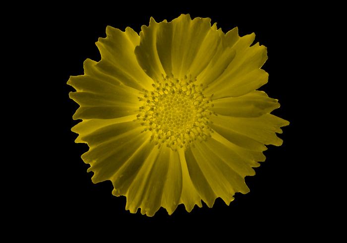 Small Glowing Sunflower Brush