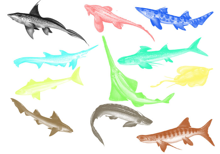 Cartilaginous Fish Brushes
