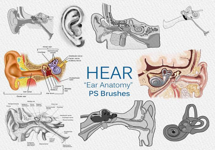 "20 Escucha ""Ear Anatomy"" PS Brushes.abr vol.2"