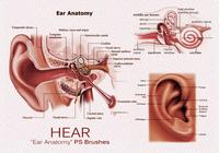 20 Hear - Ear Anatomie PS Brushes.abr vol.4