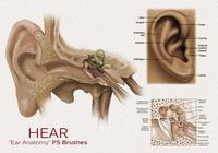 20 Hear - Ear Anatomy PS Brushes.abr vol.5