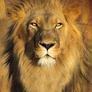 Lion-lamb-big3_copy