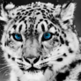 1_snow-leopard__www_cute-pictures_blogspot_com_