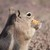 Chipmunk_eating_a_chip_1