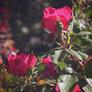 Ldoty_pinkflowers